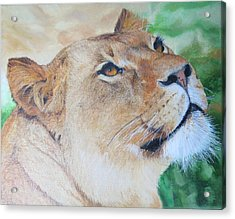 Lioness Big Cat Oil Painting Hand Painted 8 X 10 Inches By Pigatopia Acrylic Print