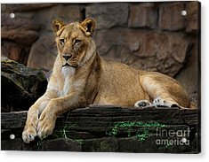 Lioness Acrylic Print by D Wallace