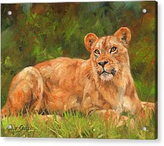 Lioness Acrylic Print by David Stribbling