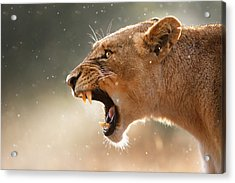 Lioness Displaying Dangerous Teeth In A Rainstorm Acrylic Print