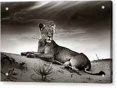 Lioness On Desert Dune Acrylic Print by Johan Swanepoel