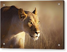 Lioness Portrait-1 Acrylic Print