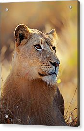 Lioness Portrait Lying In Grass Acrylic Print