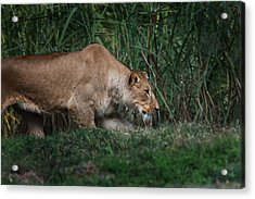 Acrylic Print featuring the photograph Lioness Stalking by Joseph G Holland