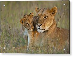 Lioness With Cub At Dusk In Ol Pejeta Acrylic Print by Ian Cumming