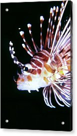 Lionfish 3 Acrylic Print by Dawn Eshelman