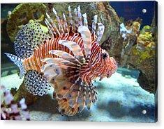 Lionfish Acrylic Print by Sandi OReilly