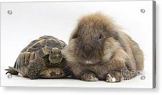 Lionhead Lop Rabbit With Tortiose Acrylic Print
