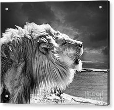 Acrylic Print featuring the photograph Lions Breath by Adam Olsen