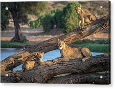Lions Can't Climb Trees Acrylic Print
