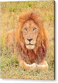 Acrylic Print featuring the photograph Lion's Eyes by Judi Baker