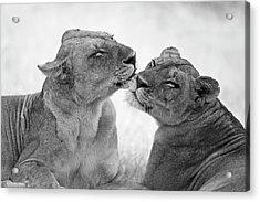 Lions In B&w Acrylic Print by Marco Pozzi