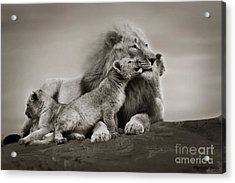 Acrylic Print featuring the photograph Lions In Freedom by Christine Sponchia