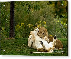 Lions In Love Acrylic Print