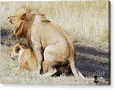 Lions Mating Acrylic Print