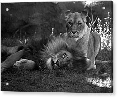 Lions Me And My Guy Acrylic Print by Thomas Woolworth
