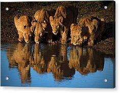 Lions Of Mara Acrylic Print