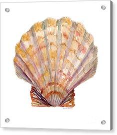 Lion's Paw Shell Acrylic Print by Amy Kirkpatrick