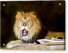 Lion's Pride Acrylic Print by Shannon Rogers