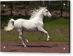 Acrylic Print featuring the photograph Lipizzan At Liberty D5809 by Wes and Dotty Weber