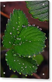Liquid Pearls On Strawberry Leaves Acrylic Print by Lisa Phillips