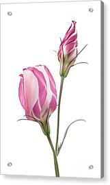 Lisianthus Love 2 Acrylic Print by Ann Garrett