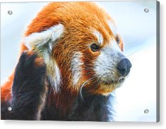 Listening Red Panda Acrylic Print