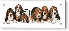 Litter Of Basset Hound Puppies Acrylic Print