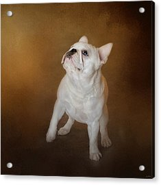 Little Beggar - White French Bulldog Acrylic Print