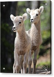 Little Bighorns Acrylic Print