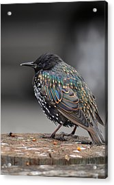 Little Bird In Pacifica Acrylic Print