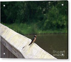 Little Birdie Acrylic Print by Kevin Croitz