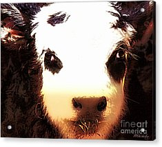 Little Black Baldy Acrylic Print by Barbara Chichester