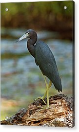 Little Blue Heron By A River Acrylic Print by Bob Gibbons
