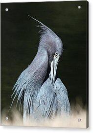 Little Blue Heron Closeup  Acrylic Print by David Lynch