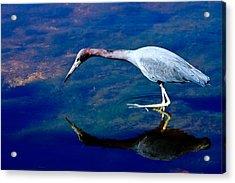 Little Blue Heron Fishing Acrylic Print