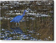 Acrylic Print featuring the photograph Little Blue Heron by Gary Hall
