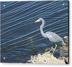 Little Blue Heron II Acrylic Print by Anna Villarreal Garbis