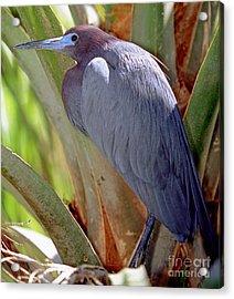 Little Blue Heron Male In Breeding Acrylic Print by Millard H. Sharp