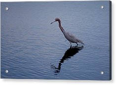 Acrylic Print featuring the photograph Little Blue Heron On The Hunt by John M Bailey