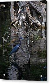 Little Blue Heron Acrylic Print by Skip Willits