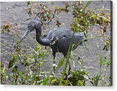 Little Blue Heron - Waiting For Prey Acrylic Print by Christiane Schulze Art And Photography
