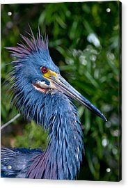 Little Blue Heron's Crest Acrylic Print by Andres Leon