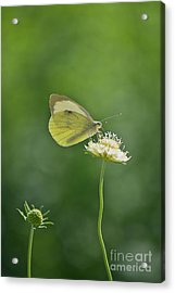 Little Butterfly Acrylic Print by Angela Doelling AD DESIGN Photo and PhotoArt