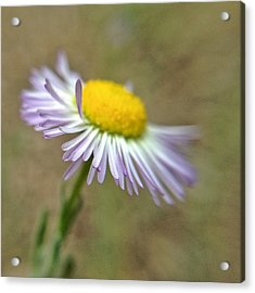 Acrylic Print featuring the photograph Little Daisy by Kevin Bergen