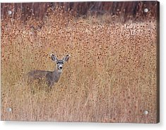 Little Deer Acrylic Print by Ruth Jolly