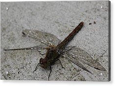 Little Dragonfly Acrylic Print