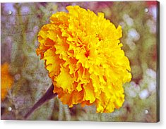 Acrylic Print featuring the photograph Little Golden  Marigold by Kay Novy