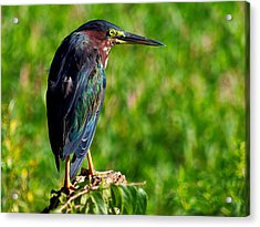 Little Green Heron 002  Acrylic Print