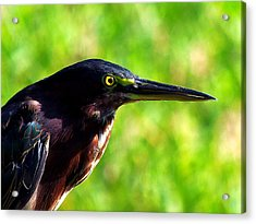 Little Green Heron 004 Acrylic Print by Chris Mercer